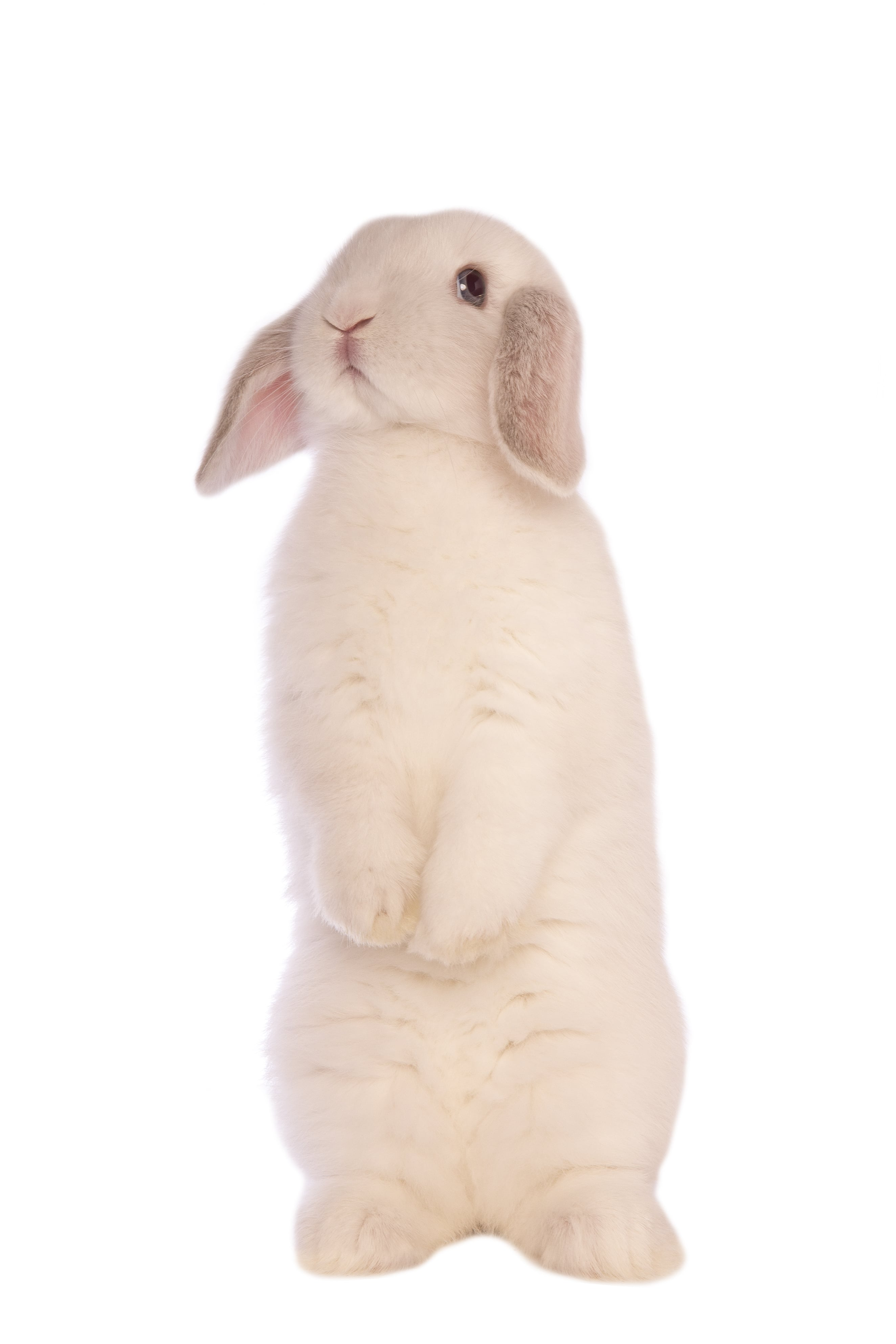 A cute white bunny keeping an eye any questions sent about our rabbit & guinea pig hotel